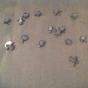 Baby turtles finding their way to sea.